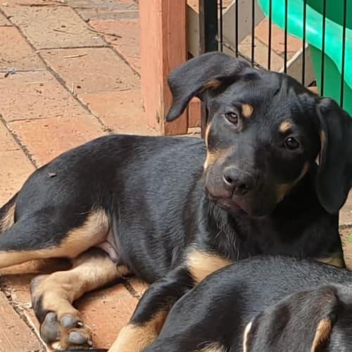 Jethro  - Kelpie Dog