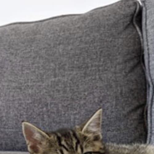 Geralt - Domestic Short Hair Cat
