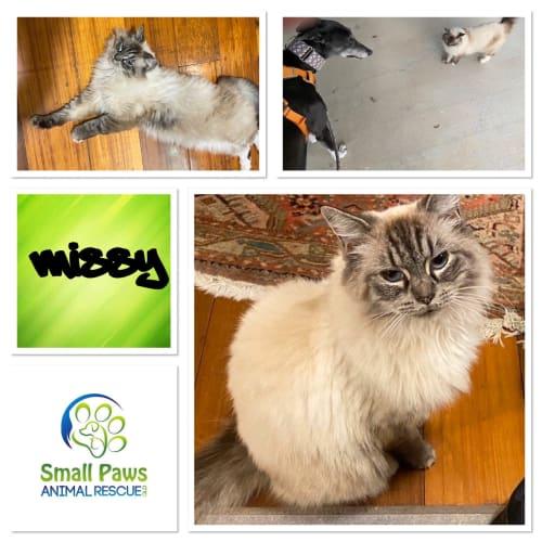 Missy - Ragdoll Cat
