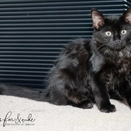 2530 - Dakota - Domestic Short Hair Cat