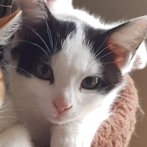 Jake - Domestic Short Hair Cat