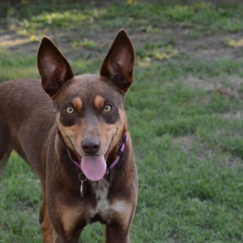 Arlo - Kelpie Dog