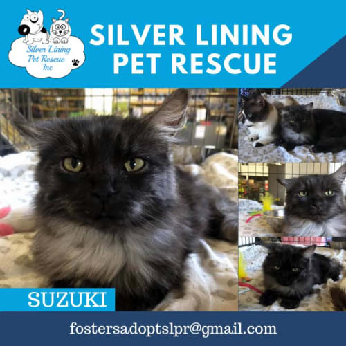 Suzuki - Persian Cat
