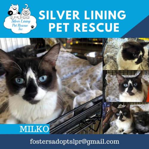 Milko - Snowshoe Cat