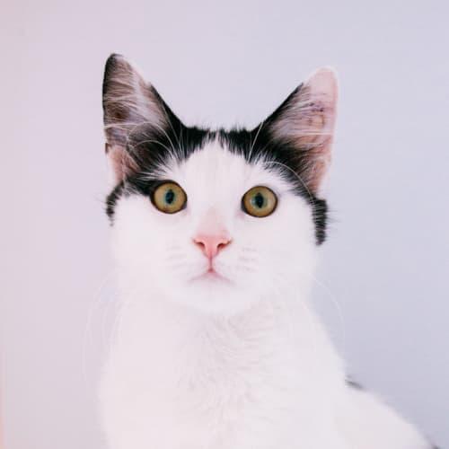 Pepsi - Domestic Medium Hair Cat