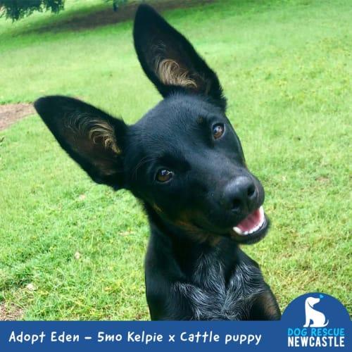 Eden ~ cute 5mo Kelpie x Cattle puppy - Kelpie x Australian Stumpy Tail Cattle Dog