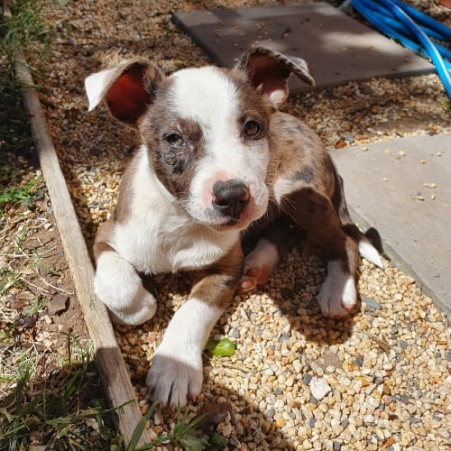 Aero - Koolie x Rhodesian Ridgeback x Staffordshire Bull Terrier Dog
