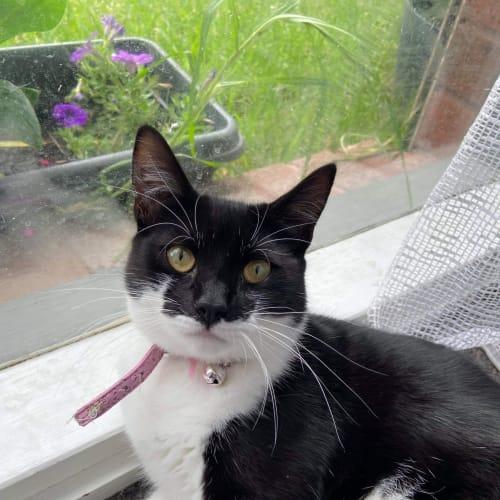 Macey ❤ - Domestic Short Hair Cat
