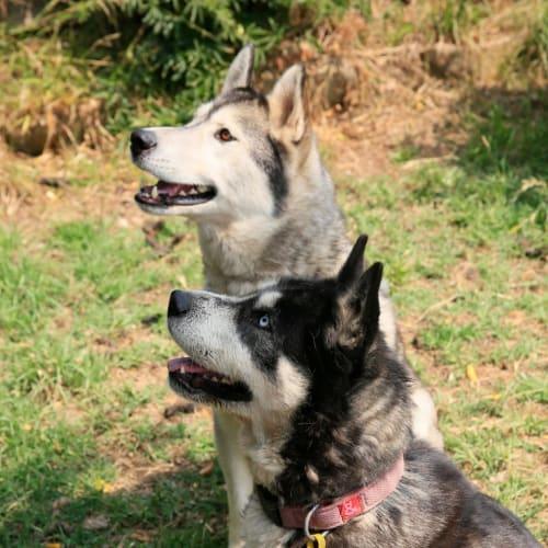 Cooper & Zoe - Siberian Husky Dog
