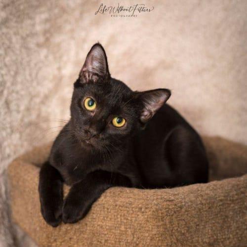 Danae - Domestic Short Hair Cat