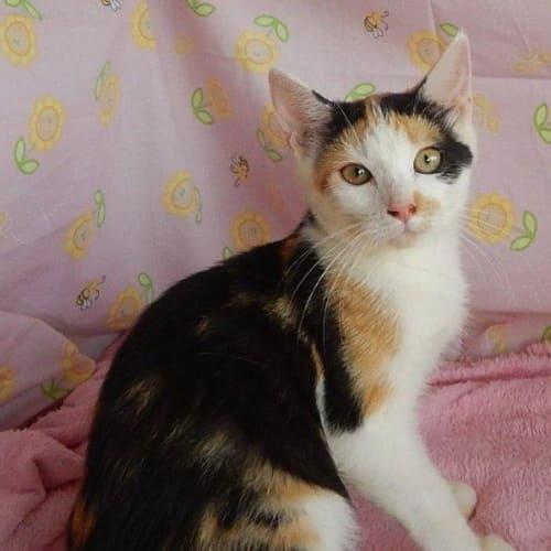 Kalani - Domestic Short Hair Cat
