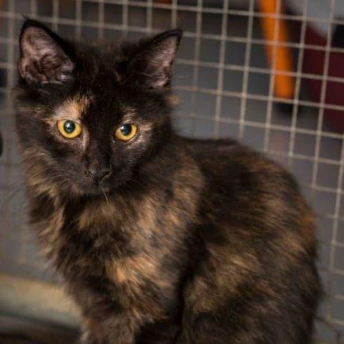 Katana - Domestic Short Hair Cat