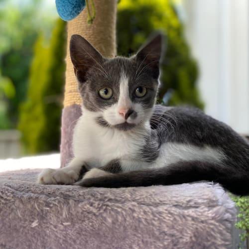 Lexi - Domestic Short Hair Cat