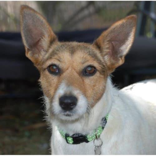 Tira - Jack Russell Terrier Dog