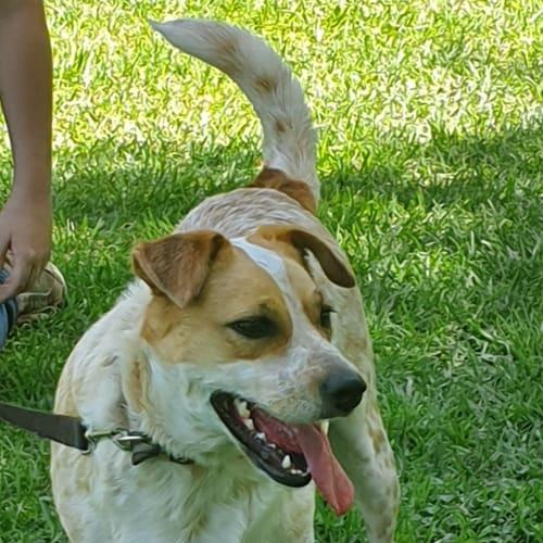 Dee Dee - Red Heeler Dog