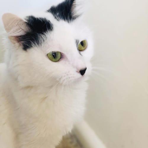 Electra - Domestic Short Hair Cat
