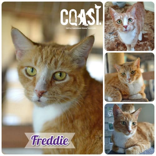 Freddie - Domestic Short Hair Cat