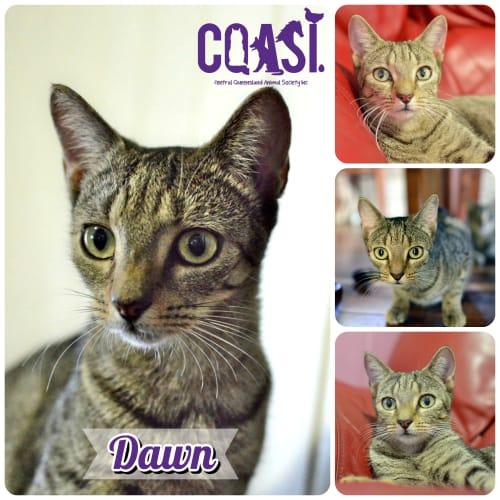 Dawn  - Domestic Short Hair Cat