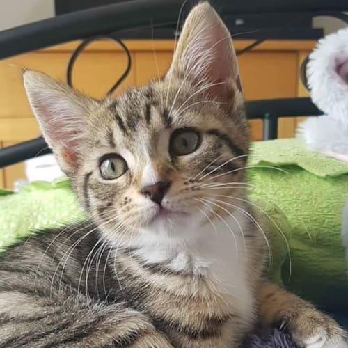 Aroon - Domestic Short Hair Cat