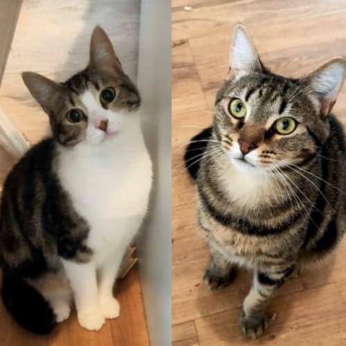 Gavin and Glora: Devoted pals! - Domestic Short Hair Cat