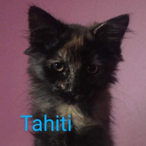 Tahiti - Domestic Short Hair Cat