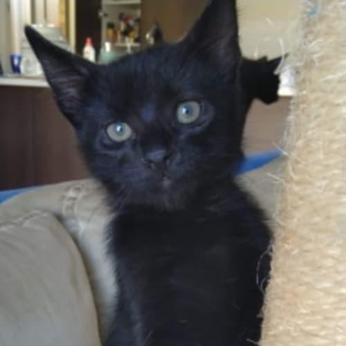 Kuro - Domestic Short Hair Cat