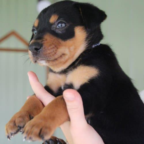 Blaze - Kelpie Dog