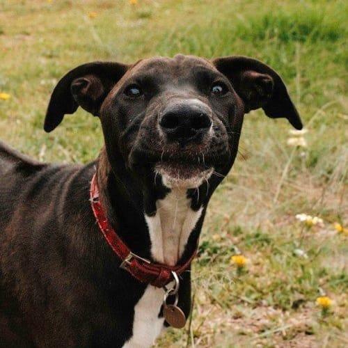 Pippa - Rhodesian Ridgeback x Mixed Breed Dog