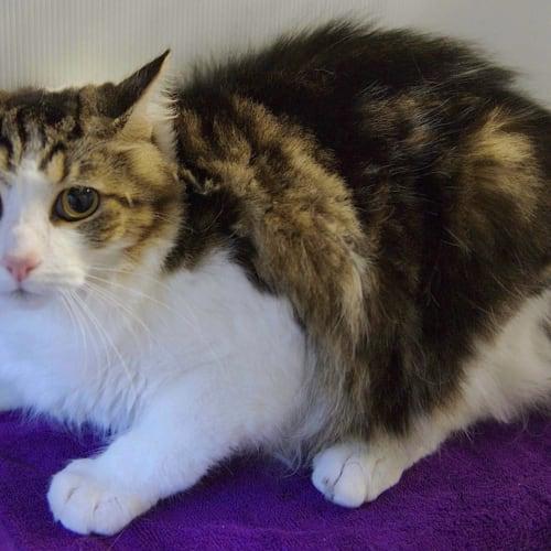 Hero & Princess - Domestic Short Hair Cat