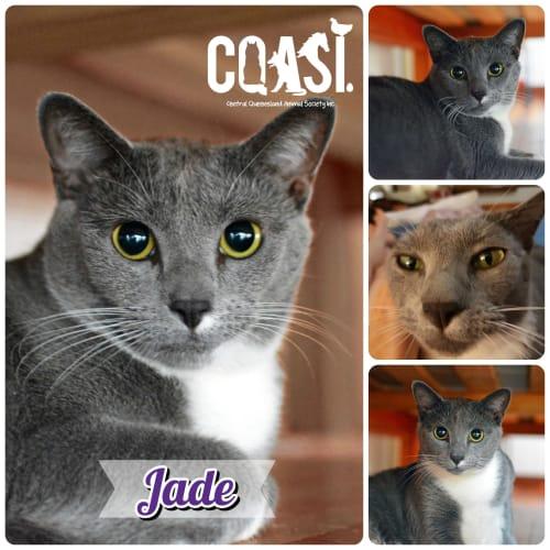 Jade - Domestic Short Hair Cat