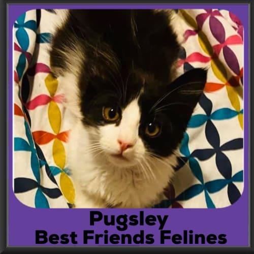 Pugsley  - Domestic Medium Hair Cat