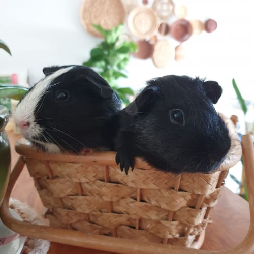 Pluto and Goofy -  Guinea Pig