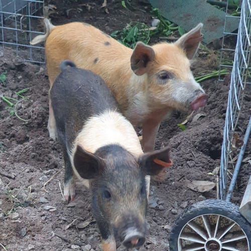 Arthur and Douglas -  Pig