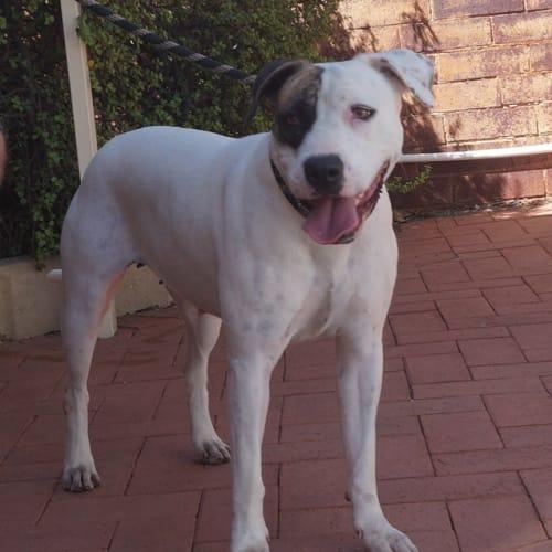 Hattie - Amstaff Dog
