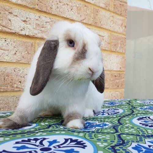 Austin *On Trial* - Dwarf lop Rabbit
