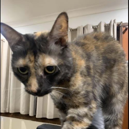 Lana2 - Domestic Short Hair Cat