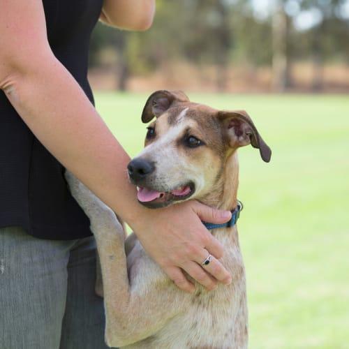 Puppy Arlo DL2383 - Australian Cattle Dog