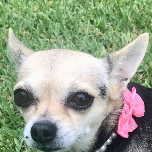 Taz - Chihuahua Dog