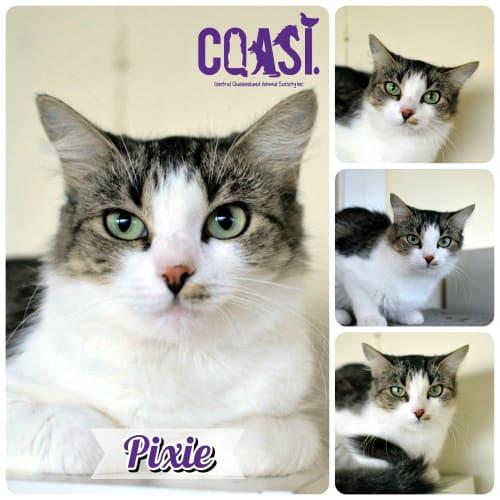 Pixie - Domestic Medium Hair Cat