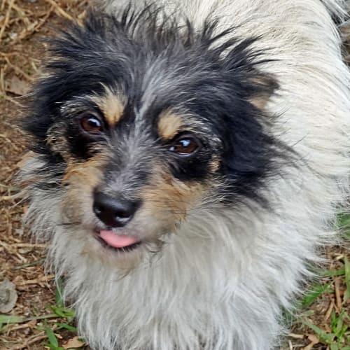 Sam - Jack Russell Terrier Dog