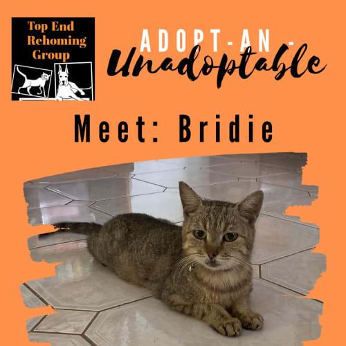 Bridie - Domestic Short Hair Cat