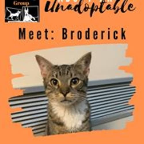 Broderick - Domestic Short Hair Cat