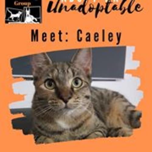 Caeley - Domestic Short Hair Cat