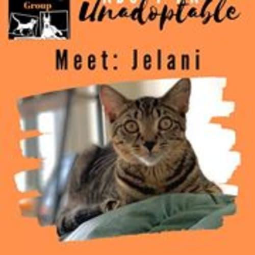 Jelani - Domestic Short Hair Cat