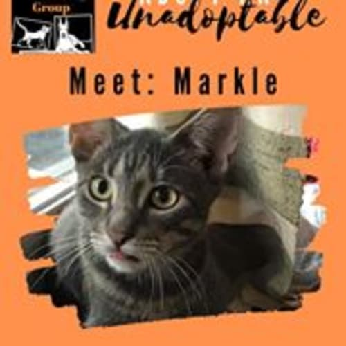 Markle - Domestic Short Hair Cat
