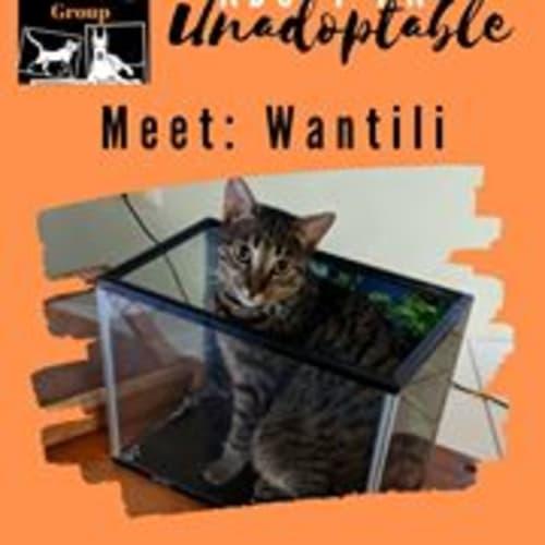 Wantili - Domestic Medium Hair Cat