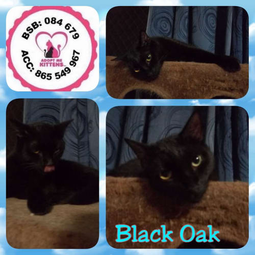 Black Oak - Domestic Short Hair Cat