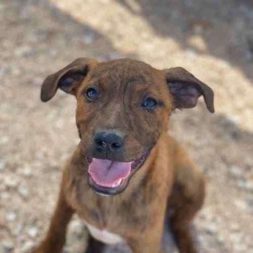 Dixie  - Cross breed Dog