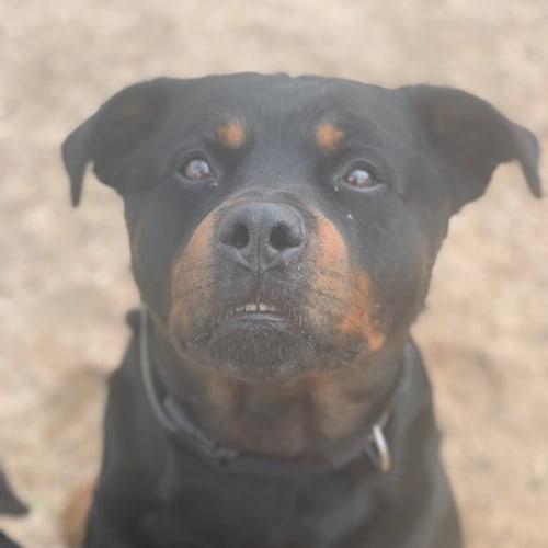 Buddy - Rottweiler Dog