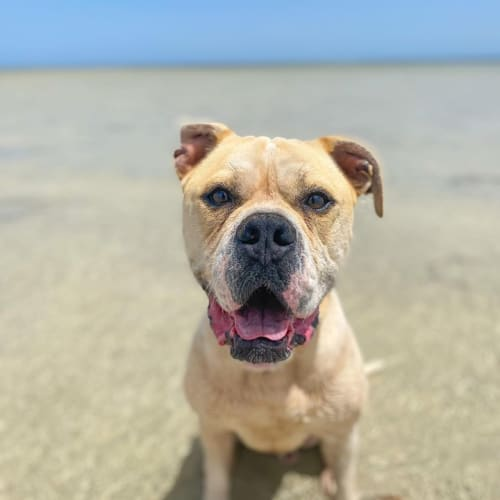 Henry  - American Bulldog